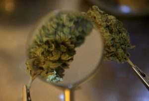 Marijuana plants are examined under a magnifying glass at Ganja Farms marijuana store in Bogota, Colombia