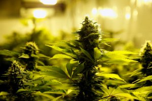 Marijuana plants are seen in an indoor marijuana plantation of a marijuana's smokers club in the outskirts of Montevideo