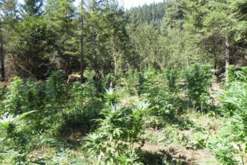 Illegal-Colorado-marijuana-grow-2700-plants-near-Redstone-560x375