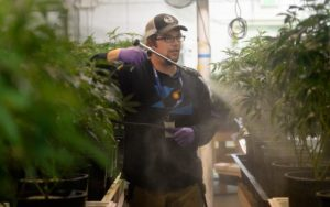 marijuana-pesticides-colorado-pot-industry-560x352