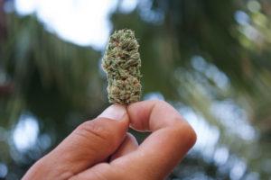 Marijuana bud in a hand