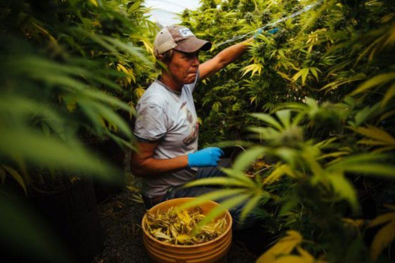 california-marijuana-growers-fires-next-steps-560x374