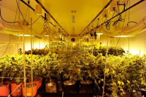 grow-room-yellow-lights-560x373