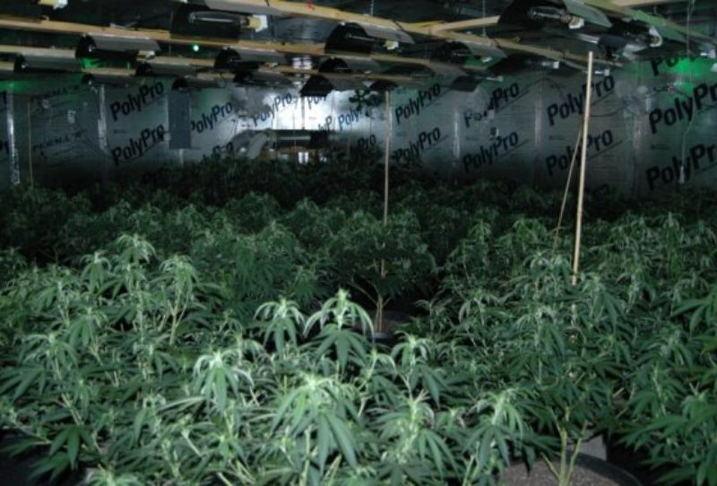daniel-road-marijuana-grow-1-560x380