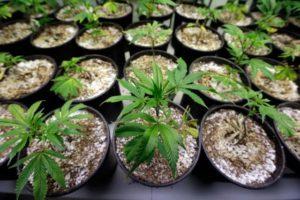 twitter-com-cannabist-status-867082236205703168-photo-dah-sohxoaaqnb7-1-560x374