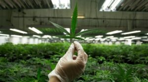 first-nations-medical-marijuana