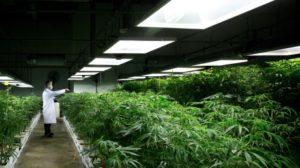 medical-marijuana-20140330