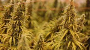 weed-close-up-jpg