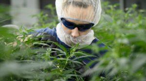 cannabis-marijuana-industry-20180212