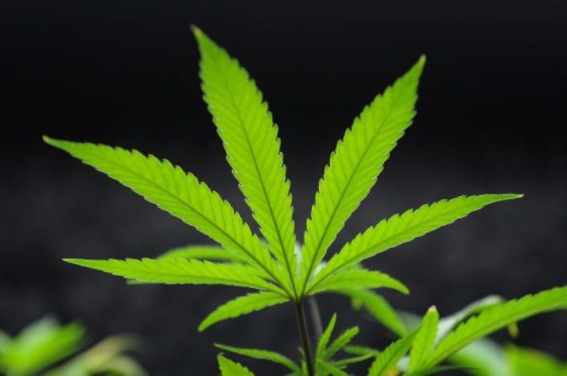 marijuana-1-560x372