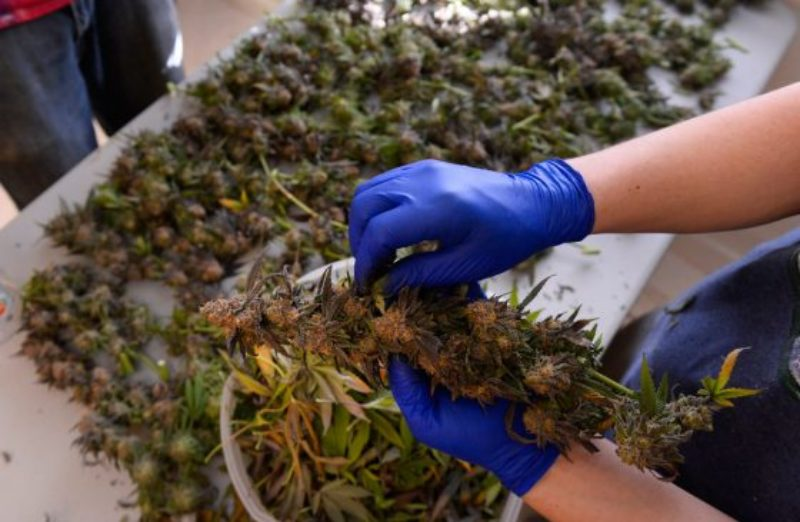 marijuana-industry-jobs-560x366