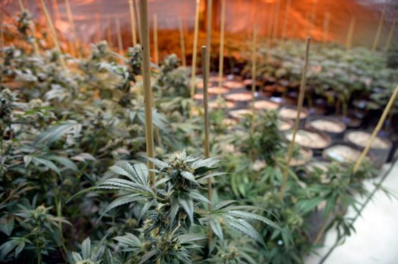 marijuana-smell-colorado-grow-facilities-basalt-560x373