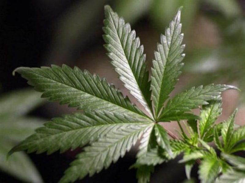 marijuana_leaf-533x400