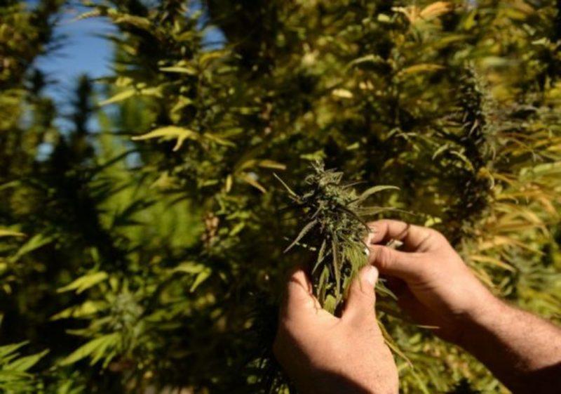 hemp-farming-tennessee-800x562-560x393