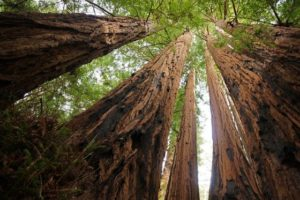 1024px-Sequoia_sempervirens_Big_Basin_Redwoods_State_Park_4-560x374