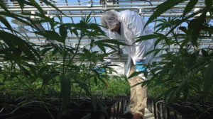 aphria-medical-marijuana-inspection