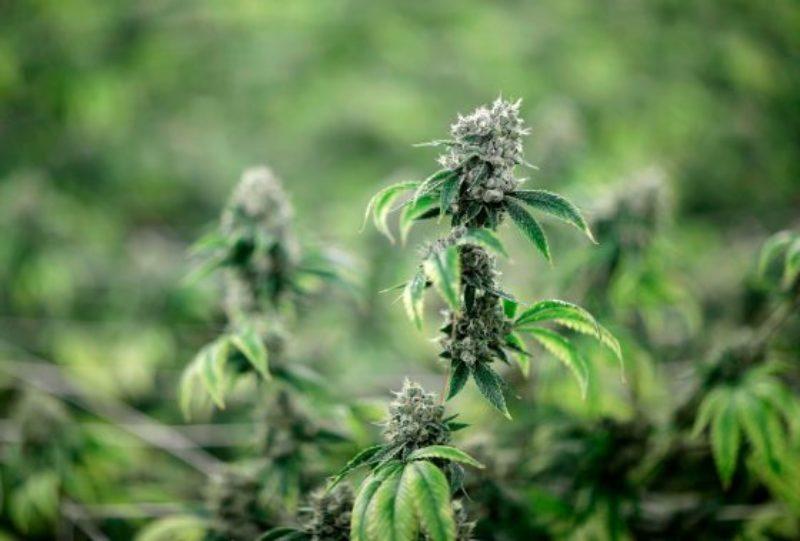 employers_dropping_marijuana_tests_581622-1-1-560x379
