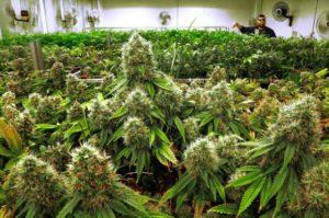 medical_marijuana_cancer_doctors_56414-1-560x373