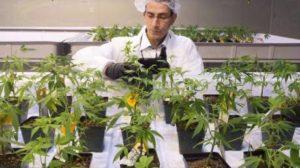 aurora-cannabis-liquor-stores-plan