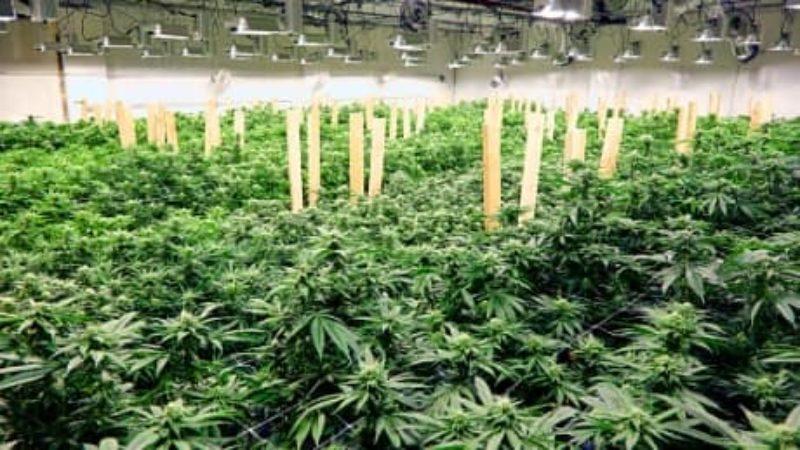 marijuana-plants