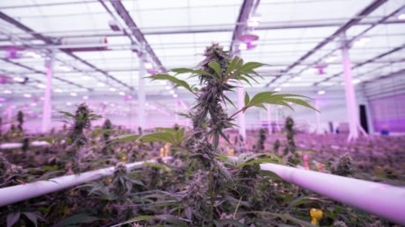 marijuana-plant-in-growing-facility