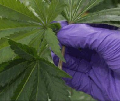 medical-marijuana