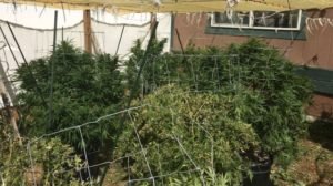 Marijuana-1-560x315
