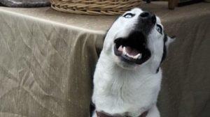 supercrawl-dog