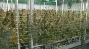 cannabis-plants-cultivation-facility