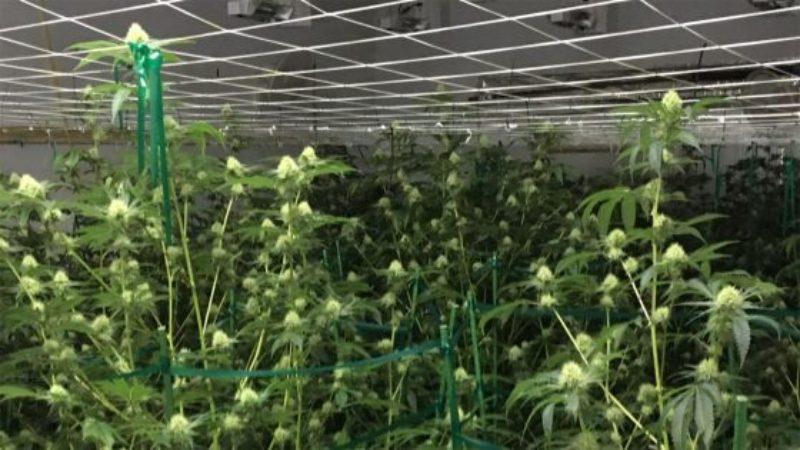illegal-pot-grow-1-560x315