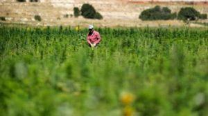 lebanon-legalizing-hashish