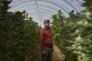 CannabisFarm1-1-560x374