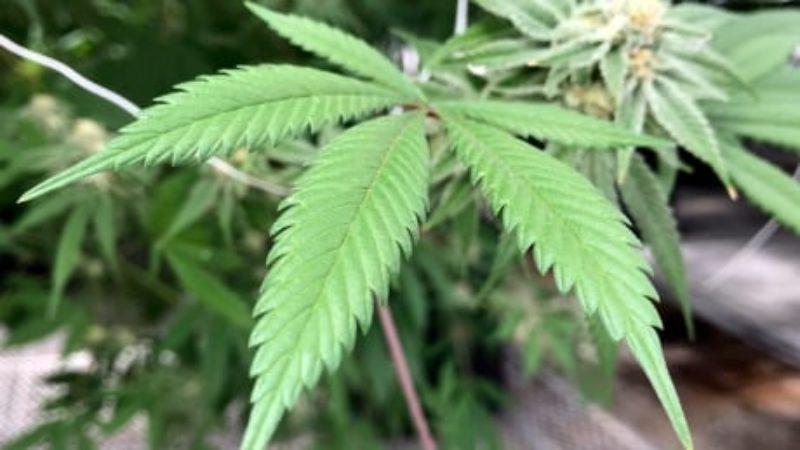 medical-marijuana-plant-count