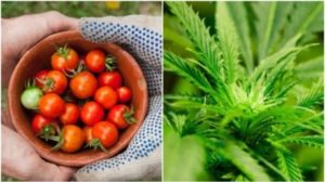 tomatoes-and-cannabis