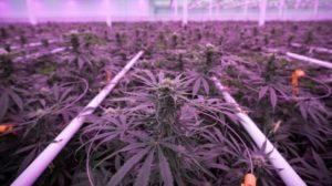 aphria-cannabis-greehouse-leamington-on