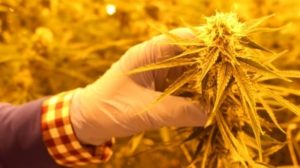 cannabis-zenabis