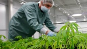 cultivation-license-finally-comes-for-zenabis-in-stellarton-image-2