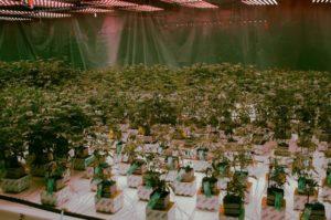 marijuana-1-560x373-1