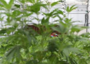 TDP-L-Oklahoma-cannabis-RJS-30111-1-557x400-1